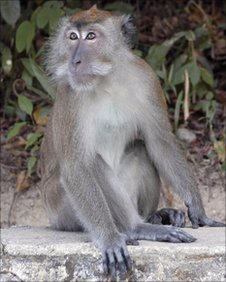 Macaque, BBC News