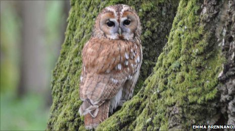 Tawny owl perched in tree