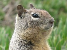California ground squirrel (c) Bagginz