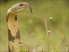 King cobra (c) Kaylan Varmar