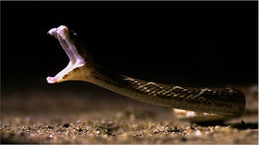 A saw-scaled viper strikes (c) BBC