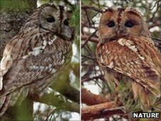 Tawny owls have two plumage colours - brown (right) and grey (left).