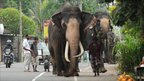 Elephants walk down a road in Colombo