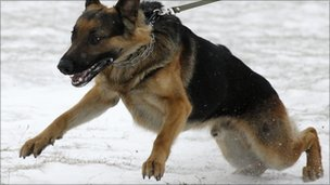German Shepherd pulling on leash