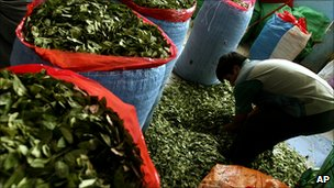 A man filling sacks with coca leaf in Bolivia, March 2007