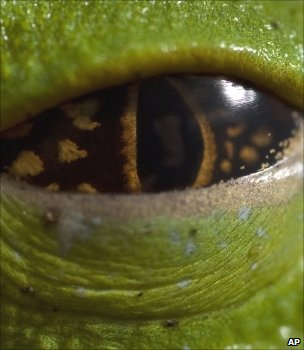 Frog&#039;s eye (Image: AP)
