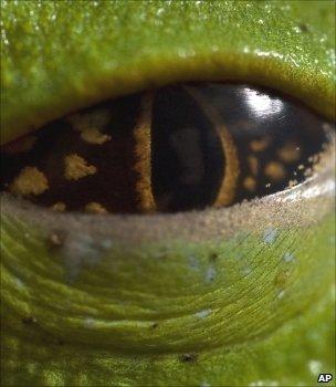 Frog's eye (Image: AP)