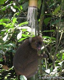 Greater bamboo lemur (c) Cedric Girard-Buttoz