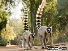 Ring tailed lemurs (c) Anup Shah / NPL.com