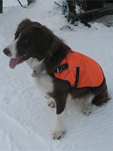 Glenshee ski patrol dog, Bode. Pic: SAIS
