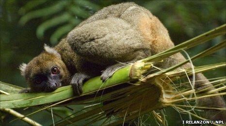 Greater bamboo lemur (c) Inaki Relanzon / NPL.com