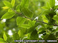Holm oak foliage