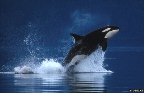 Orca hunting in Alaska (Image: Volker Deecke)