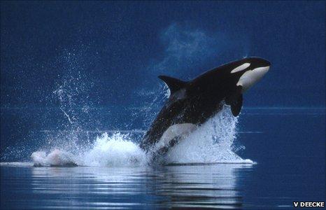 Orca hunting in Alaska (Image: Volker Deecke)