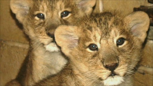 Two Asiatic lion cubs at Bristol Zoo