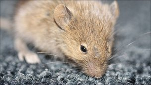 A mouse (library picture)