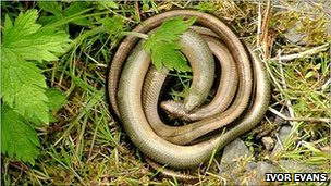 Slow worm (generic)