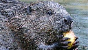 Beaver in Knapdale