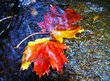 Fallen leaves floating in a stream