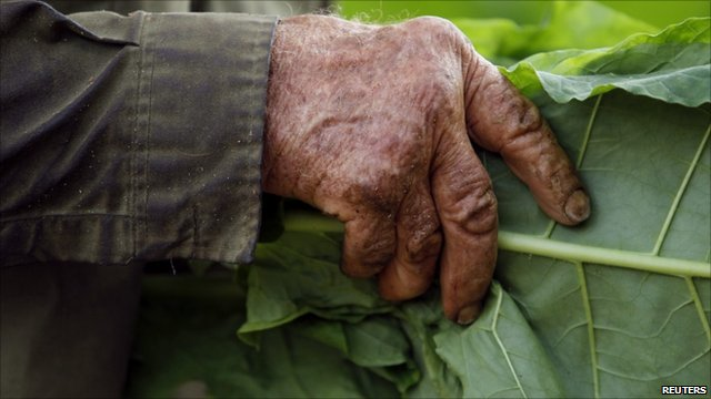 A plantation worker holds a tobacco leaf in Cuba's western province of Pinar del Rio