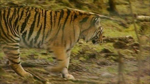 Male tiger, Vladimir, from the Highland Wildlife Park near Aviemore, Scotland
