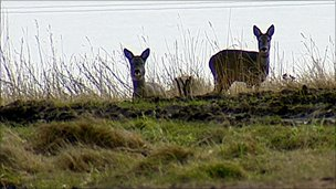 Deer at Tullos hill