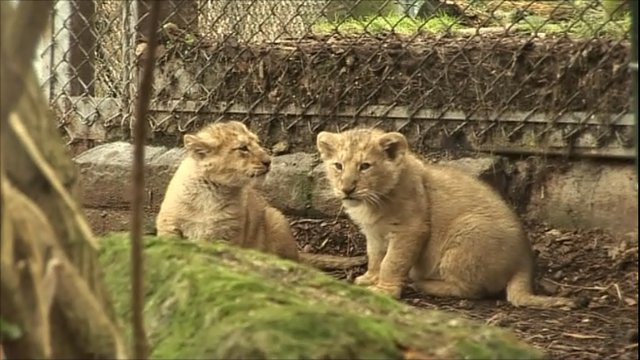 Asiatic lion cubs at Bristol Zoo