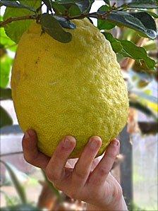 Giant lemon at Wiltshire College, Lackham