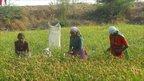 Women farming millet