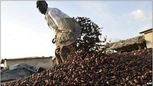 A Baoule farmer gathers cocoa beans on November 17, 2010 in Zamblekro, a village near the city of Gagnoa