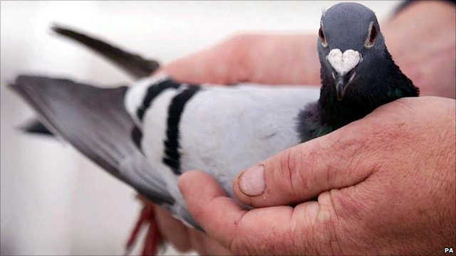 Pigeon cradled in someone's hands