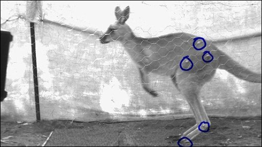 Infrared cameras have been recording the kangaroos