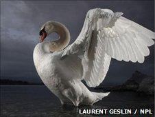 Mute swan (Laurent Gesling / NPL)