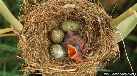Reed warbler's nest with eggs and European cuckoo chick just hatched, UK.