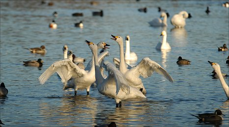 Bewick's swans (Image: Wildfowl and Wetlands Trust)