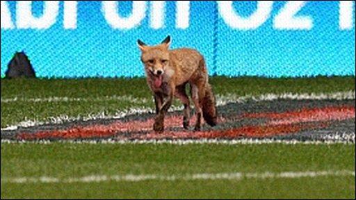 A fox invades Twickenham