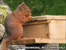 Red squirrel at a feeding table in Ennerdale