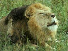 A male lion roaring (Image: Karen McComb)
