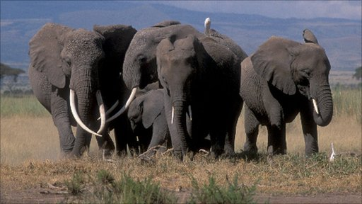 Female African elephants in Amboseli National Park, Kenya (Image: Karen McComb) 