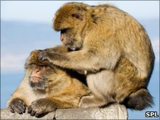 Barbary macaques (Image: Science Photo Library)