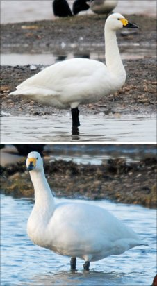 A slim Bewick's swan (top) and a well-fed Bewick's swan (bottom)