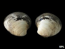 Quahog clam (Arctica islandica)