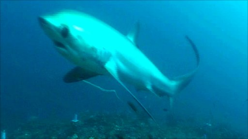 Thresher shark at a cleaning station (Image: Simon Oliver)