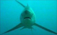 Thresher shark (Image: Simon Oliver)