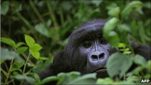 Mountain gorilla in Virunga (file photo)