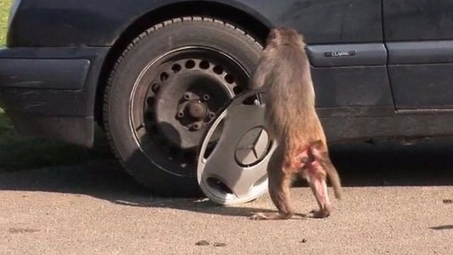 Rhesus macaque with hub cap