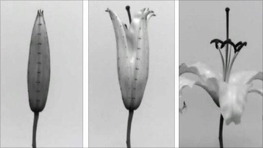 Lily bud opening (Image: PNAS)