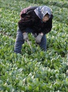Spinach field in Moriya, Ibaraki prefecture, north of Tokyo