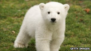 Knut as a cub