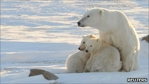 Polar bear and two cubs in Hudson Bay